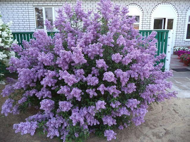 Сирень персидская