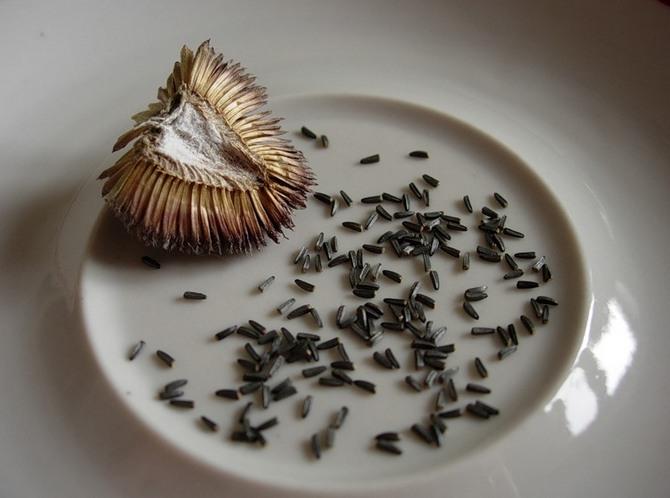 Семена рудбекии