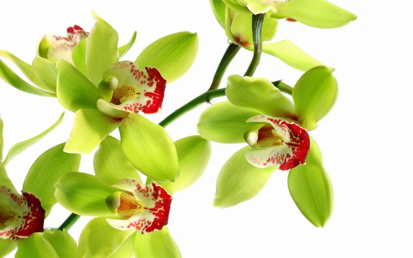 Самая дорогая орхидея в мире