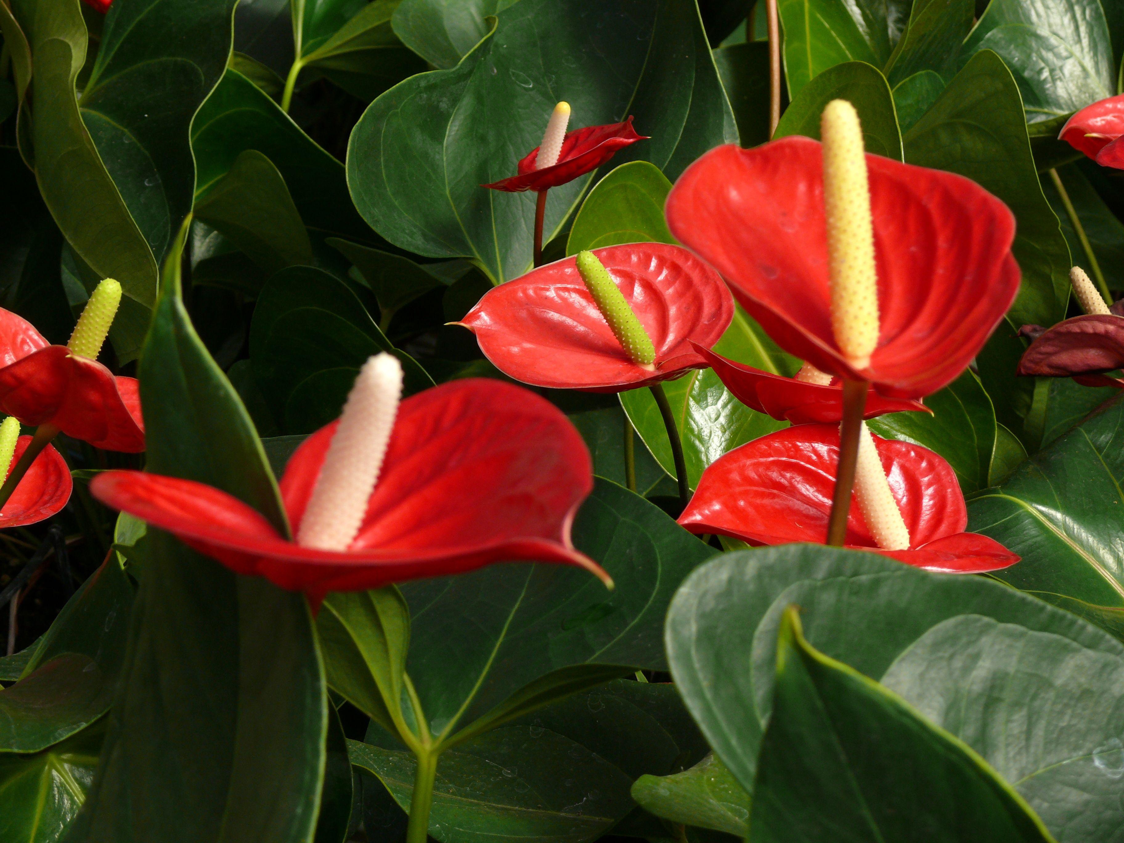 звезды отечественного цветок счастья фото картинки эффект метеоризма различные