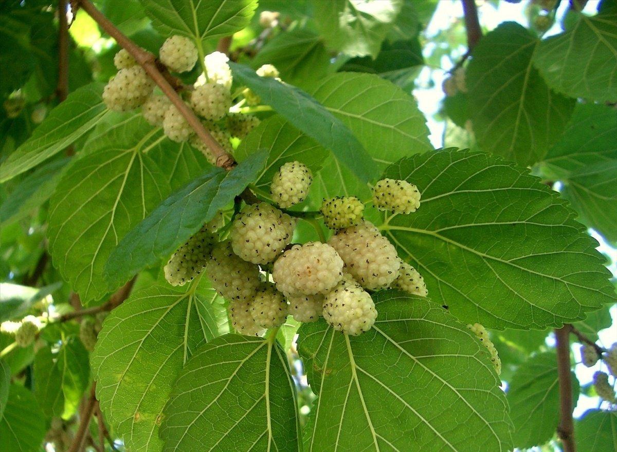 Тутовник легко переносит обрезку, которую рекомендуют проводить в состоянии покоя растения - в начале весны или поздней осенью