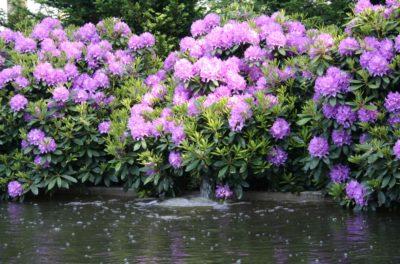 Выращивание цветущих и декоративнолиственных кустарников