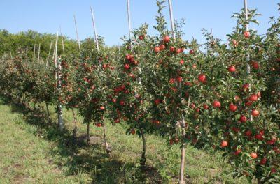 Как правильно купить саженец яблони